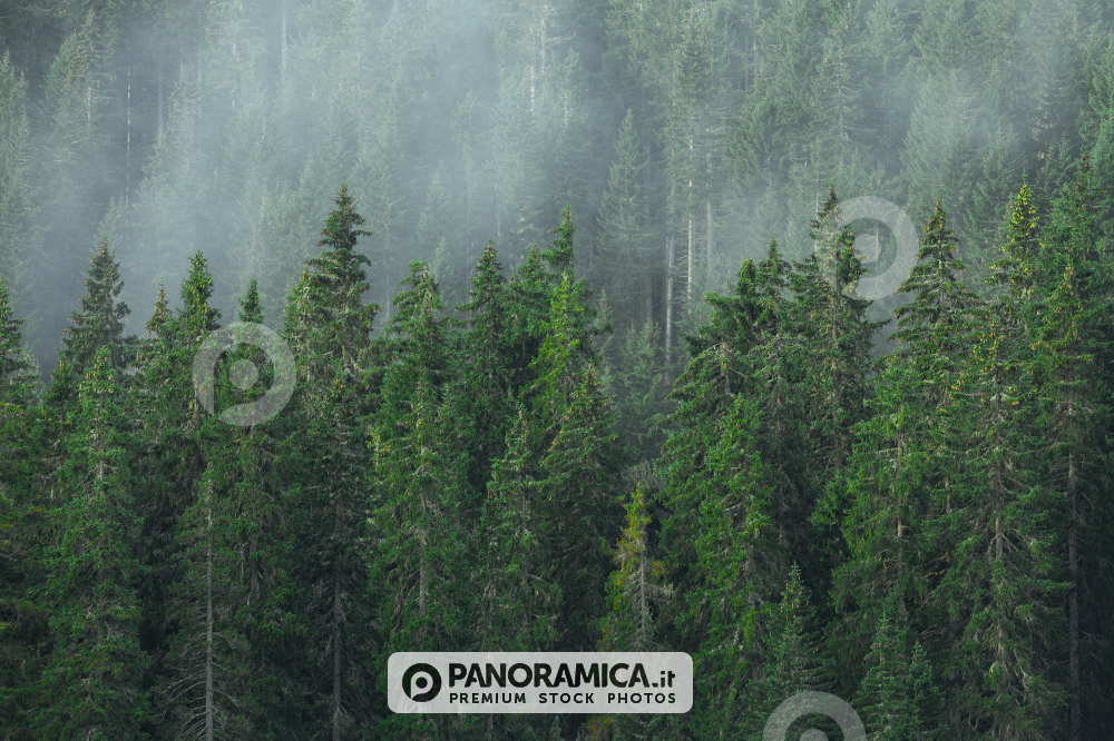 The forest near the Carezza Lake, Costalunga Pass, Dolomites, Trentino Alto Adige, Italy