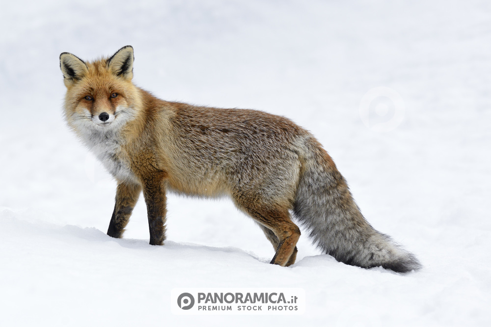 Volpe rossa nella neve animali premium - Animali in inverno clipart ...